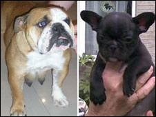 Stolen adult British Bulldog Rocket (left) and French Bulldog Whoopie (right)