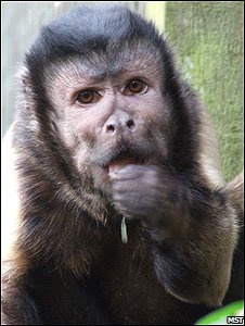 Joey, a rescued capuchin monkey (Image: Monkey Sanctuary Trust)