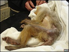 A rescued monkey being examined (Image: Monkey Sanctuary Trust)