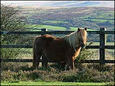 Dartmoor pony: Pic Eve Hotchkiss