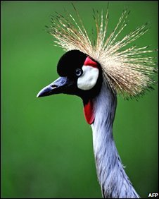 Endangered African gray crowned crane (Balearia regulorum)