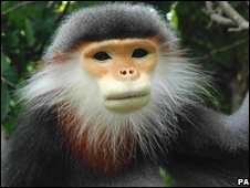Endangered Grey-shanked douc langur
