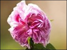 Carnation (pic-English Heritage)