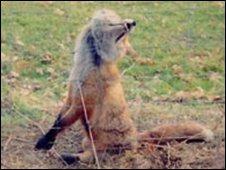 Fox in a snare