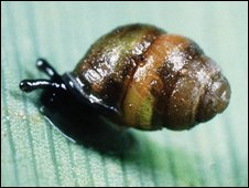 Desmoulin's whorl snail (Picture by Roger Key)