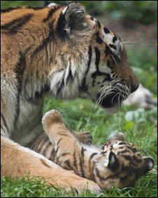 Tiger cub and mother at Howletts - photo by Dave Rolfe