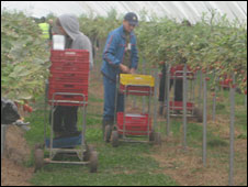 Romanian strawberry pickers at work