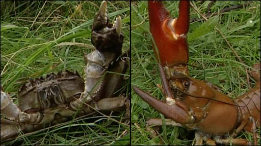 Chinese mitten crab (left) and non-native crayfish (right)