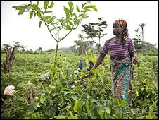 Liberian cassava farm