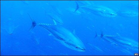 Bluefin tuna schooling (SPL)