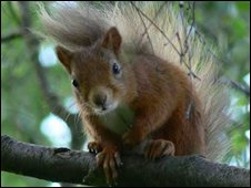 Red Squirrel (Pic: Jimmie Reid)