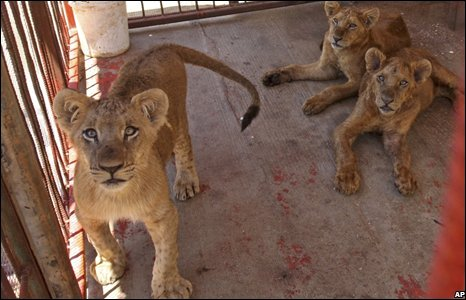 African lion cubs are inside a cage at the Heaven of Birds and Animals Zoo in Rafah