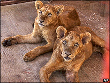 Smuggled lion cubs in Rafah, Gaza
