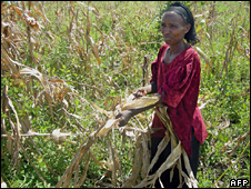 Ethiopian woman cutting down maize (file photo)