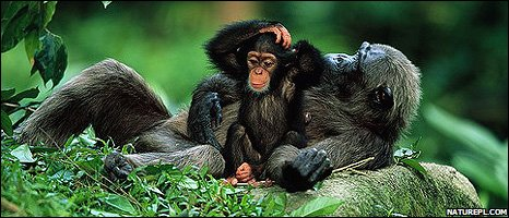 Young chimpanzee with its mother (Image: Anup Shah/naturepl.com)