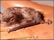 Daubenton bat - generic