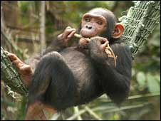Chimp cared for by CWAF. Photo from CWAF