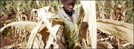A Zimbabwe boy in a parched maize field (Archive picture)