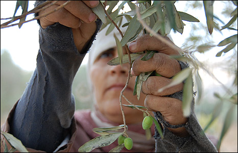 Member of family of West Bank farmer Ramiz Barham, picking olives.