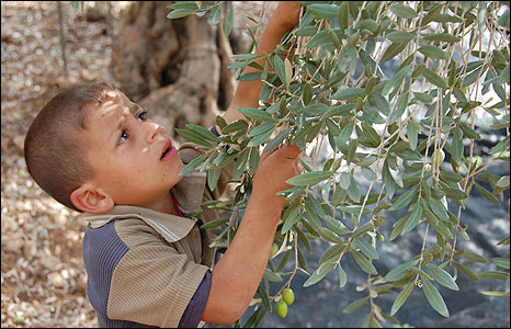 Ahmad, 5, helps pick olives