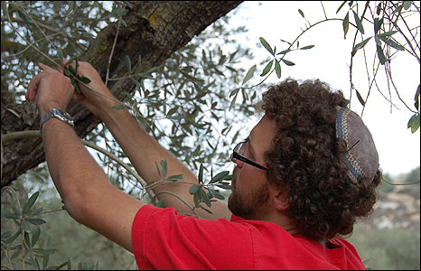 Volunteer with Rabbis for Human Rights helps pick olives
