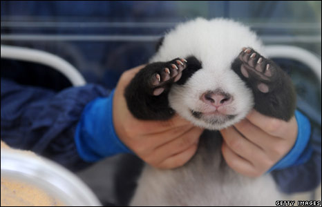 One of twin Giant Panda cubs at the Bifengxia base of the China Giant Panda Protection and Research Centre, in Yaan, Sichuan province