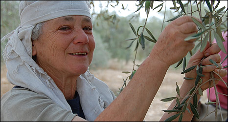Israeli-British activist Hellela Siew harvests olives
