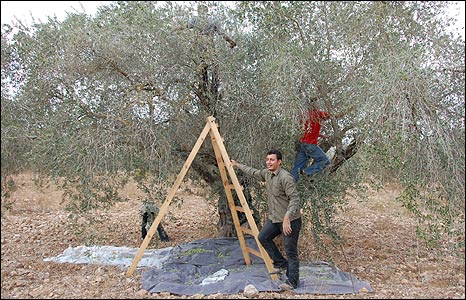 Family of Ramiz Barham and international volunteers pick olives in West Bank.