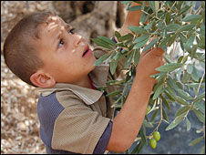 Ahmad, 5, picks olives, northern West Bank