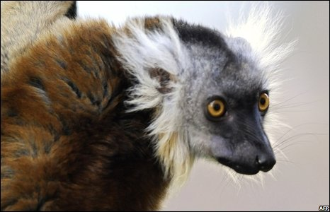 Female black lemur at Berlin zoo