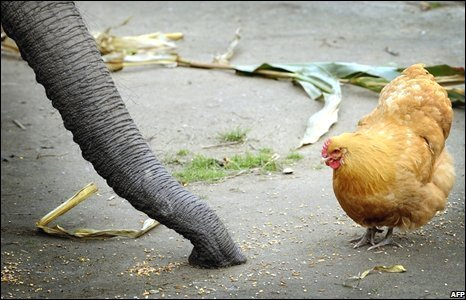 Hen and African elephant at zoo in Duisburg, Germany