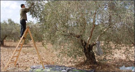Ramiz Barham harvests olives