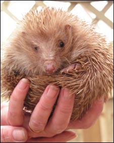 Blondie the rare blond hedgehog: Pic Guernsey Hedgehog Rescue Centre