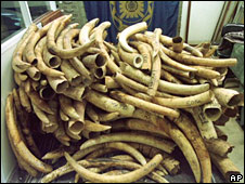 Consignments of illegal ivory are still recovered leaving Africa