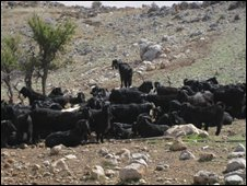 A herd of goats in the valley