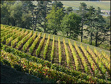 Vines of Saint Emilion