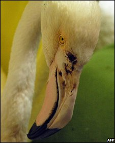 Injured greater flamingo in Adelaide zoo on Thursday