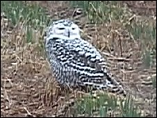 Snowy owl on Isles of Scilly