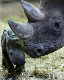 Chester Zoo's new baby black rhinoceros with its mother, Kitani