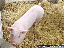 Pig clone (University of Adelaide)