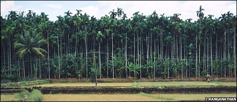 Areca nut plantation (Image: Jai Ranganathan)