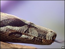 A red-tail boa constrictor