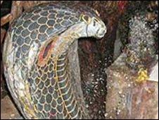 Indian snake