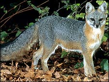 Gray fox (Picture from Chiricahua National Monument, Arizona)