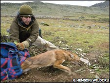 Only 500 Ethiopian Wolves are left