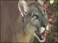 Puma en los Everglades, imagen cortesía FWC
