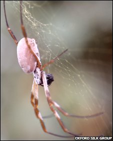Golden orb weaving spider, Oxford Silk Group 2008