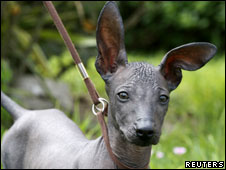 Ear, a Peruvian Hairless dog