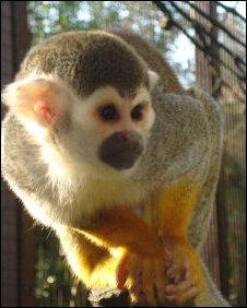 One of the stolen squirrel monkeys