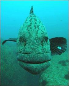 Grouper (BBC)